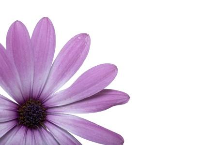 beautyfull violet flofers in white background  Shot in studio