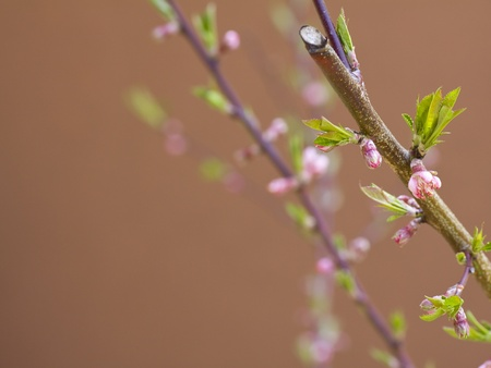 Peach flower: Fruit Tree - Focus Flower in Spring on brown background Kho ảnh
