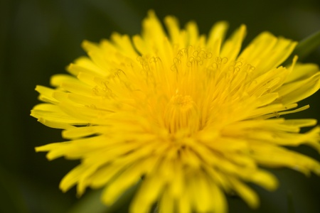 Yellow dandelion close-up  Beautiful macro  Selective focus  photo