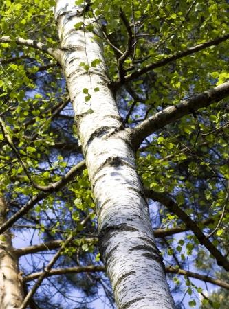 birch tree: Natural background - a summer birchwood