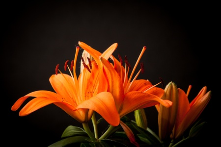orange lily: lily flower decorating on black background