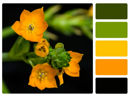 ornithogalum dubium: Flower colour palette with complimentary swatches.