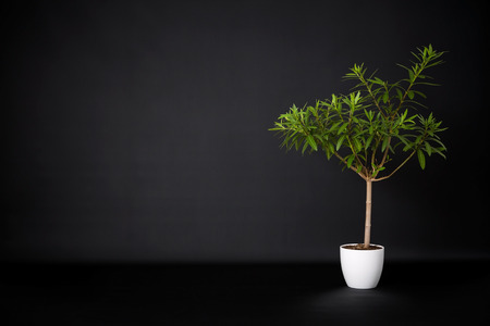 living thing: Flower in a pot on a black background. Empty space.