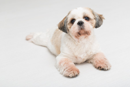 small dog: Shih tzu puppy posing on white background. Studio portrait of the dog.
