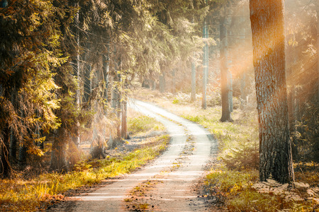 woodlands: autumn autumnal forest trees pine growth road straight woodlands sunlight sun nature woods pine beam sunbeams morning sunrise - stock image