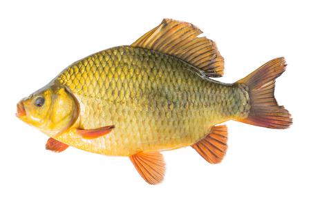crucian: crucian golden fish goldfish shiny background food fishing carp raw isolated white