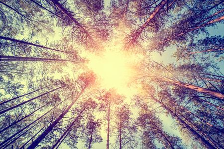magnificence: forest trees pine growth retro vintage straight cedar woodlands sunlight - stock image Stock Photo