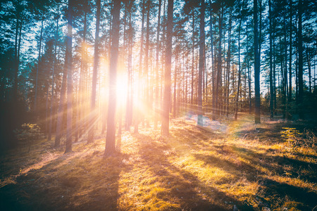 forest trees pine growth retro vintage straight woodlands sunlight - stock image