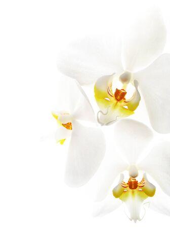 Beautiful White Orchid (Highkey)