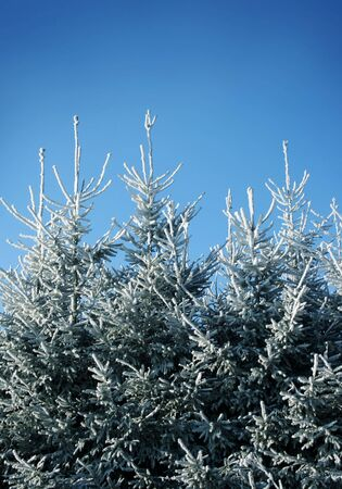 A row of frost covered fir trees on a cold december day. Stock Photo