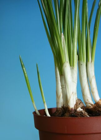 Closeup of a sprouting crocus plant Stock Photo