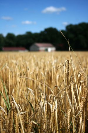 Wheat field with out of focus farm house in the background