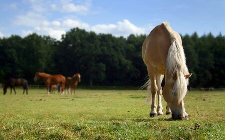 Side view of a grazing horse on a meadow