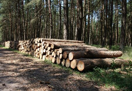 Piled boles of pine trees in a forest.