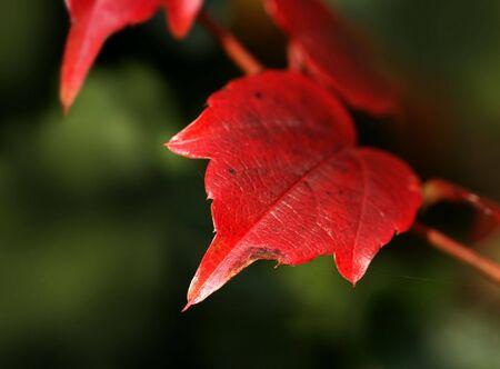 Red autumn leaf.