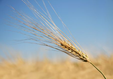 Single ear of barley against blue summer sky.   Stock Photo