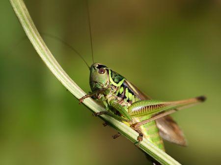 Green grasshopper sitting on a blade of grass.