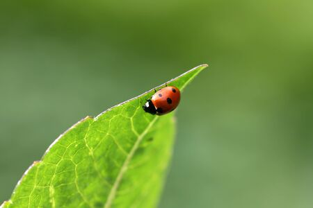 Ladybug sitting on the tip of a leaf.