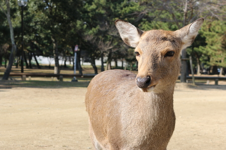 unharmed: Deer lived freely in Nara Japan Stock Photo
