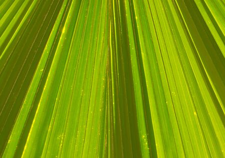 foliage tree: Textures and lines of Green Palm leaves