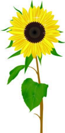 sun flower: Sun Flower Vector