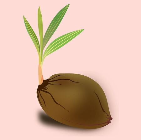 Sprouting-coconut  Illustration