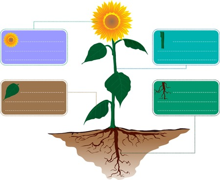 line drawing: sunflower infographic Illustration