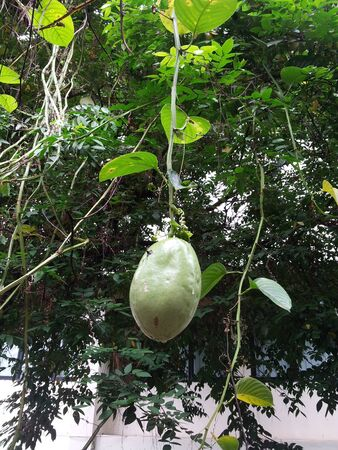dangling: Single fruit dangling from a tree in a tropical forest Stock Photo