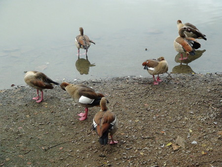 birds lake: Seven pink feet birds in and near a lake Stock Photo