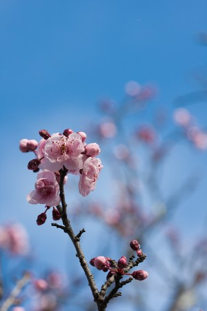 Pink and white bechtel crab apple blossoms with water droplets and blue sky background photo