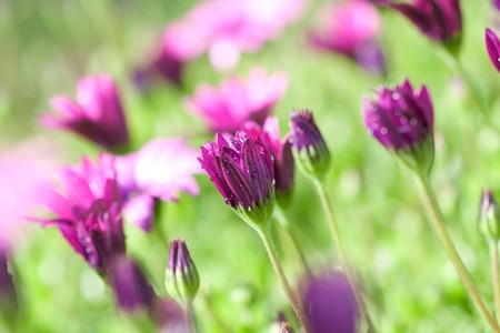focus on foreground: Long stemmed purple and pink daisies with in focus foreground and out of focus background Stock Photo