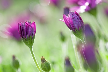 Long stemmed pink and purple daisies with water droplets Stock Photo - 7553888