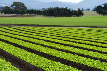 furrow: Rows of lettuce plants on farm