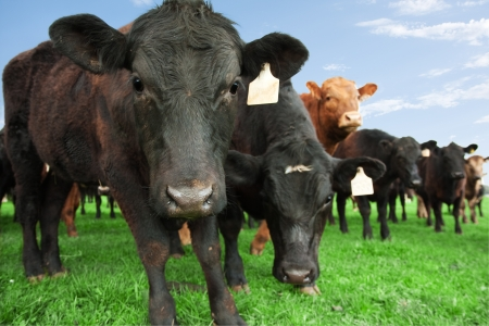 black angus cattle: Closeup of beef cow with other cattle in background