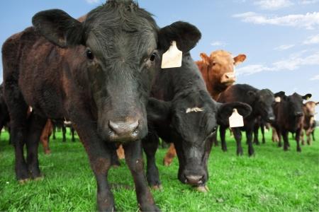 Gros plan de vaches de boucherie avec d'autres bovins en arrière-plan