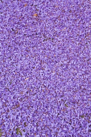 Full frame of purple jacaranda flowers