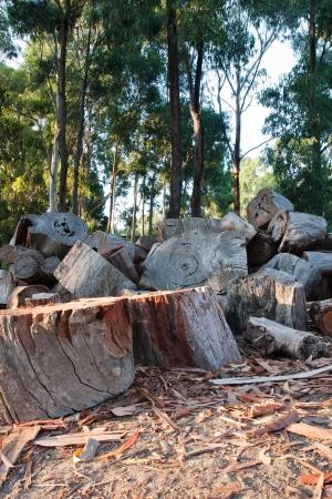deforestacion: Pila de leña cortada en un claro del bosque Foto de archivo