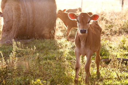 Friesen dairy cow calf standing in grass photo