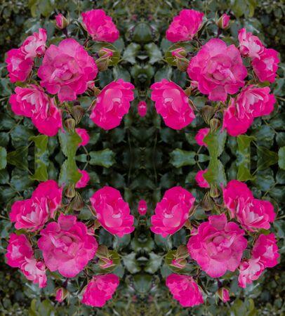 symetric: Purple Rose