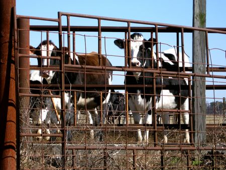 cattle wire wires: Two caws behind the fence