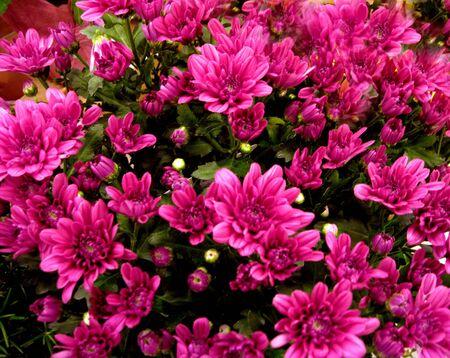Purple Rododrendon bush