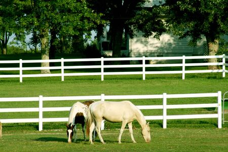 horses in field: Horses grazing with white fence around the ranch Stock Photo