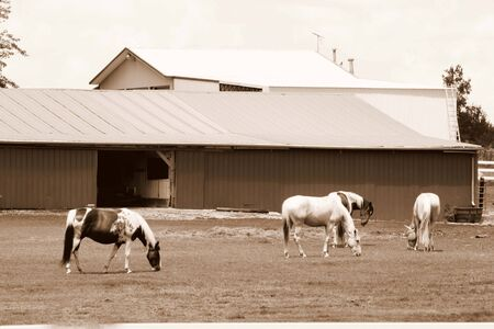 Horses grazing in sepia photo