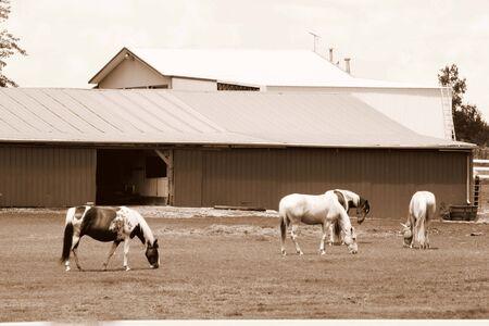 Horses grazing in sepia photo