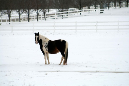 Beautiful pinto horse in snow photo