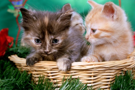 Two kittens in basket Stock Photo - 9881533