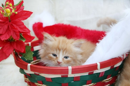 Yellow kitten in Christmas basket photo