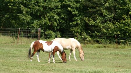 Pretty pinto horse side by side with palomino photo