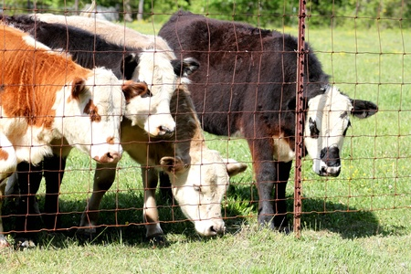 ranching: Calves looking out the fence Stock Photo