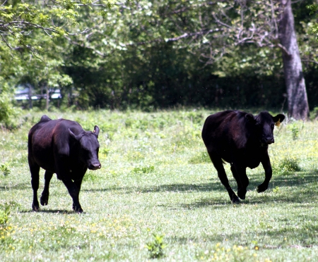 ranching: Two black cows running Stock Photo